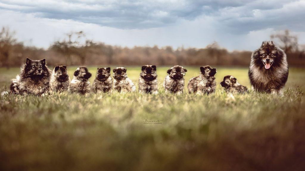 Wolfsspitz Familie