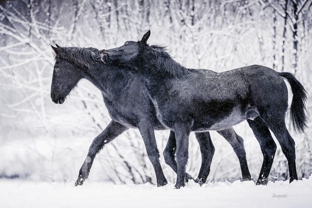 Fohlen im Schnee