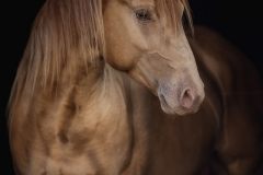 "American Quarter Horse ""Rugged in Gold"""