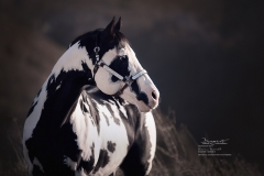 """American Paint Horse """"Colonel Coosader"""""""