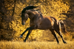 "American Quarter Horse ""Magic Einstein"""