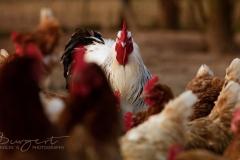 Brahma Hahn mit seinen Hennen