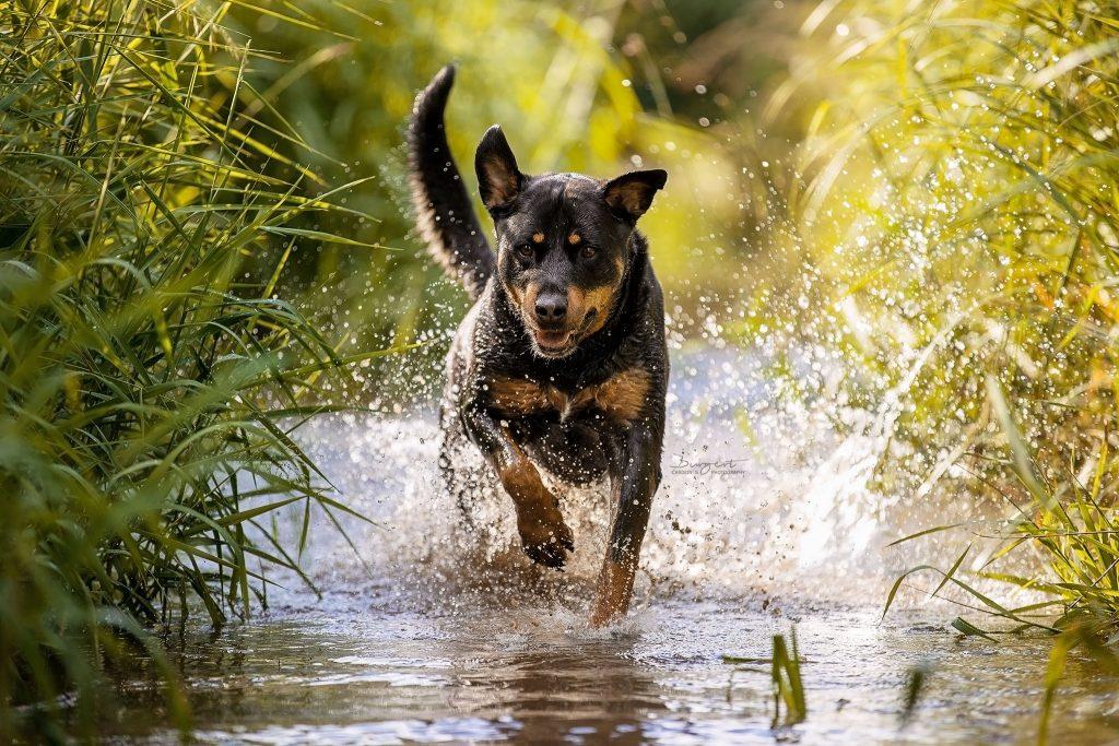 Rottweiler im Wasser, Hundeshooting im Bach