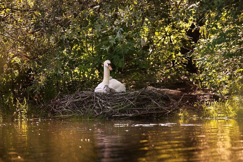 Schwanenfamilie im Nest