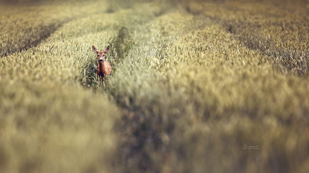 Reh im Weizen, Wildlife