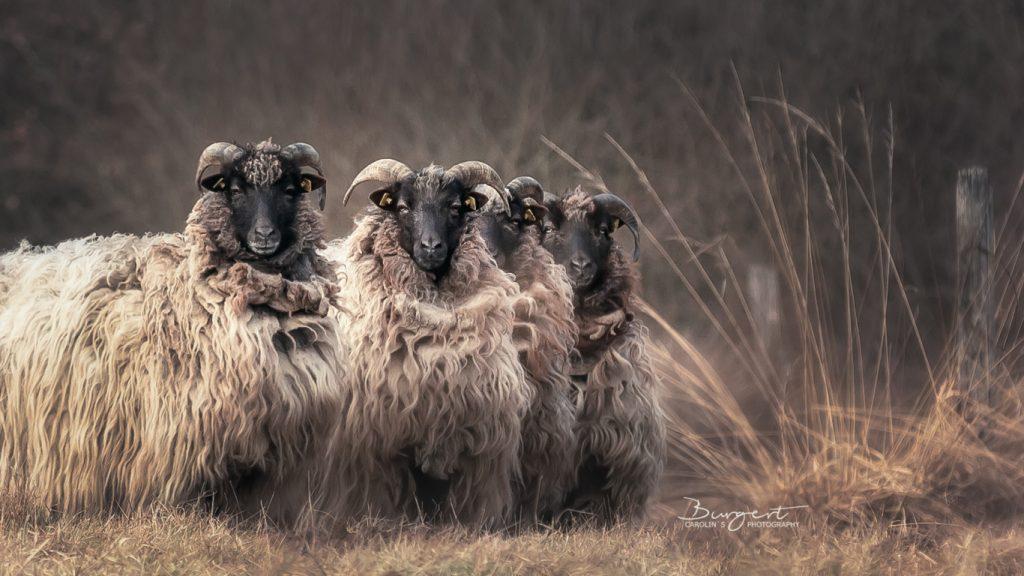 Heidschnucken Quartett
