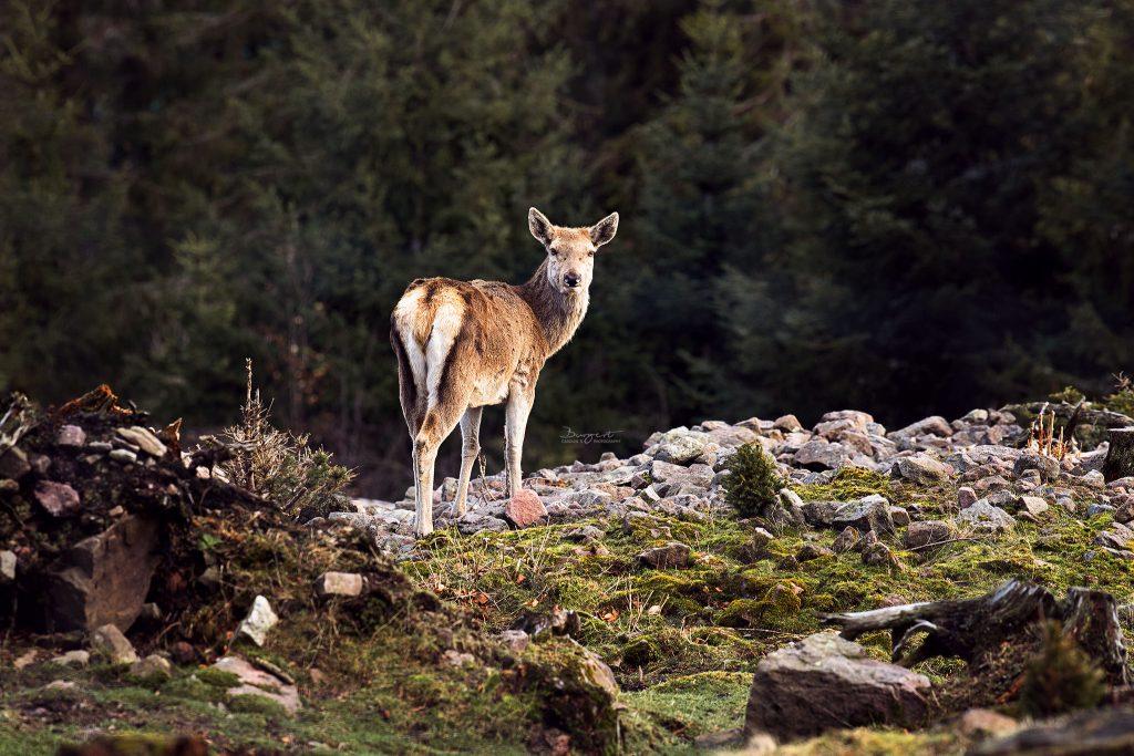 Rotwild im Schwarzwald