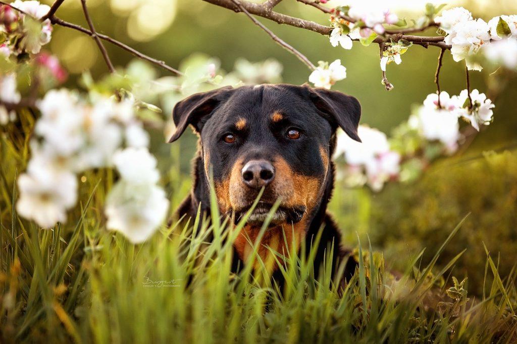 Rottweiler in den Kirschblüten