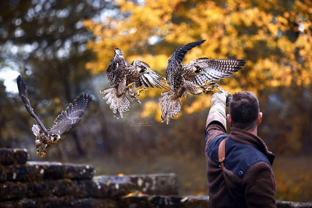 Wanderfalke mit seinem Falkner