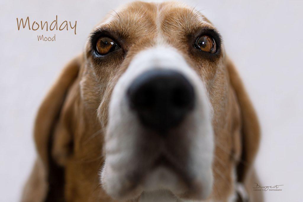 Beagle Monday Mood