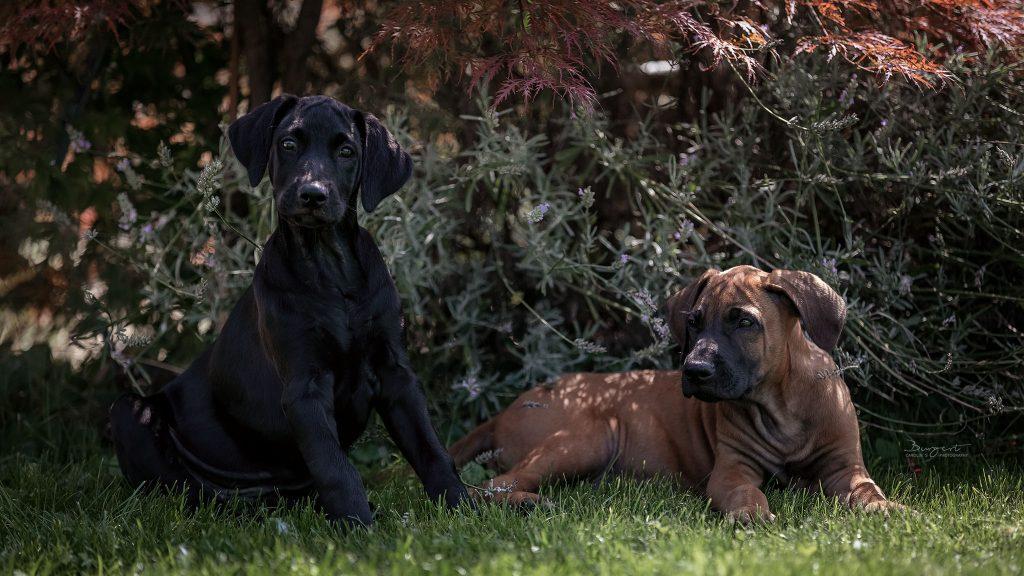Ridgeback-Labrador-Dogge-Mix Welpen