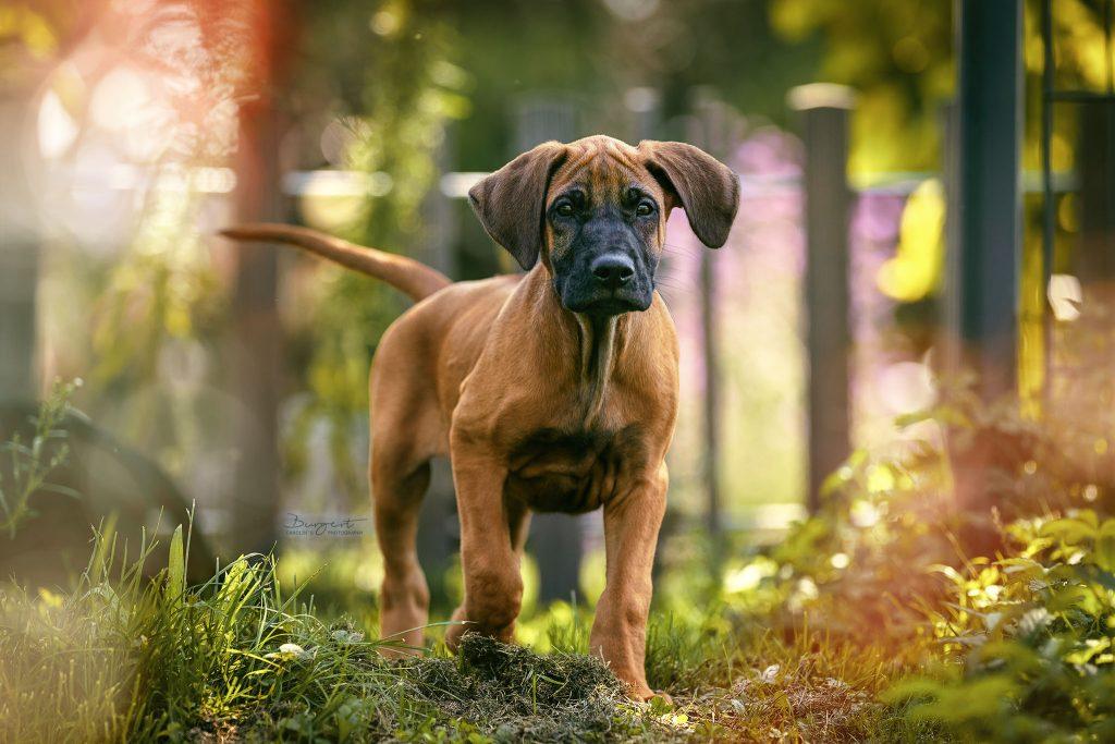 Ridgeback-Labrador-Dogge-Mix Welpe