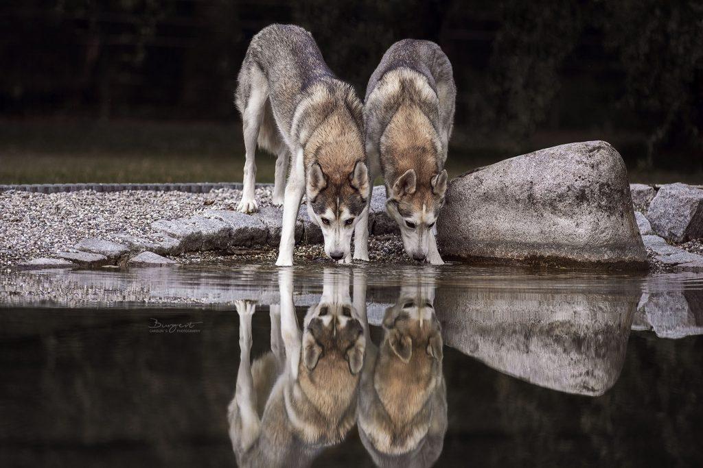 Huskies am spiegelnden Wasser