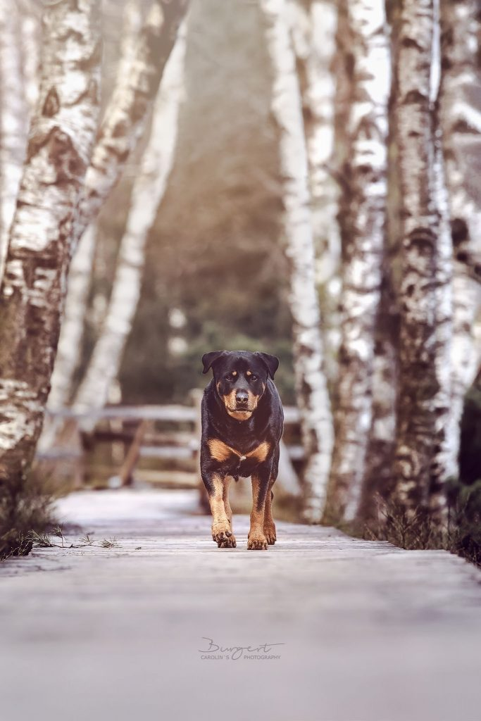 Rottweiler unter den Birken auf dem Holzsteg