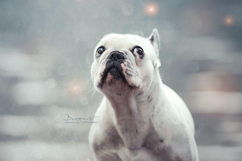 Französische Bulldogge - klein Lilli