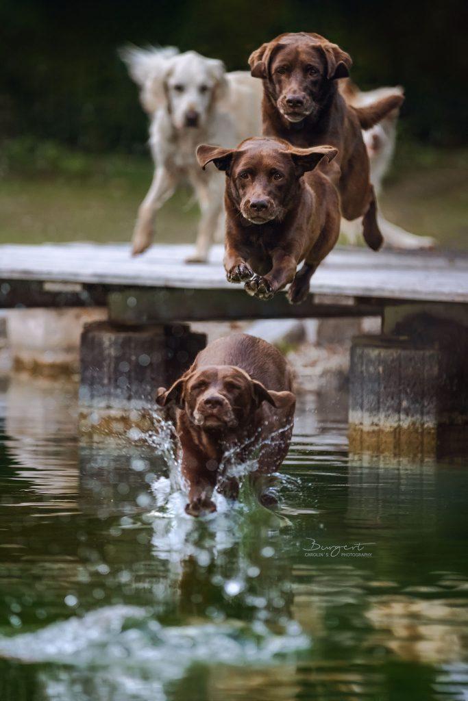 Labrador - Sprung ins Wasser