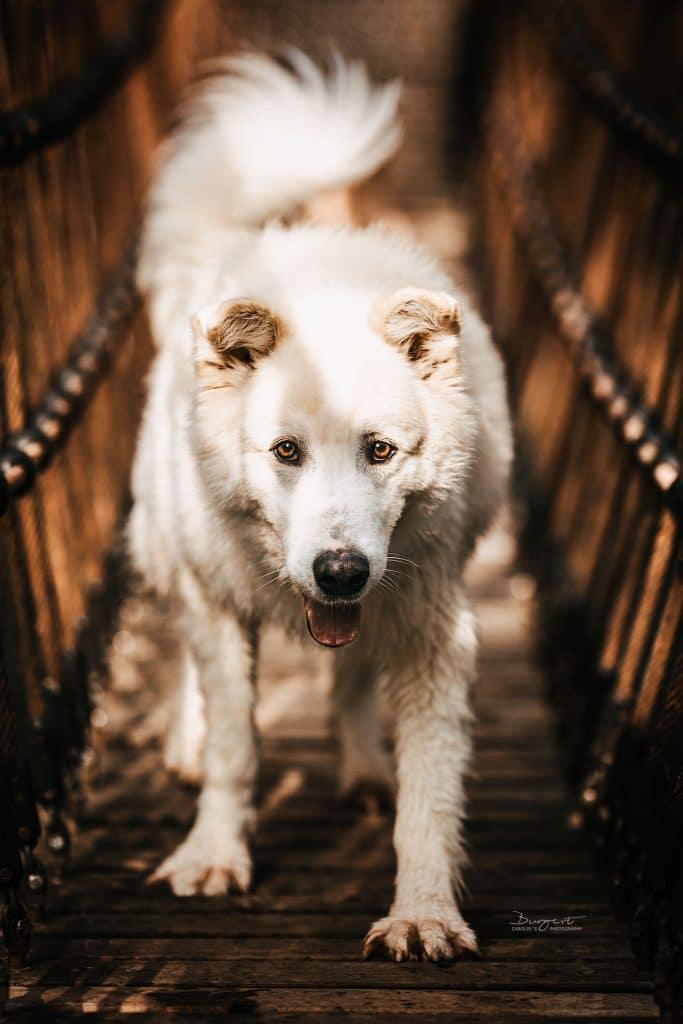 Hund auf der Hängebrücke
